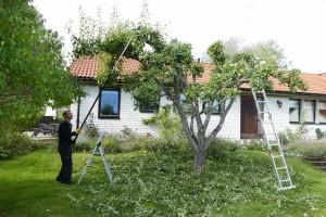 Klippa äppelträd