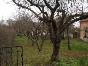 beskära äppelträd pris