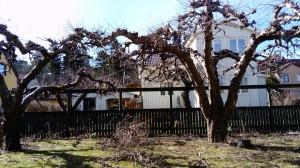 beskärning av gamla äppelträd
