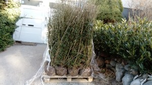 plantera häck liguster