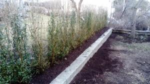plantera häck liguster Spånga
