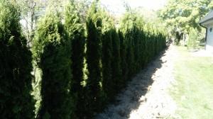 plantera thuja