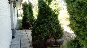 plantera thuja Sigtuna