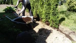 plantera thuja Täby