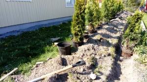 plantera thuja mars