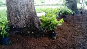 plantering buskar