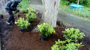 plantering rhododendron