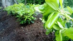 plantering rhododendron Täby