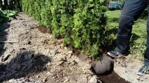 plantering thujor
