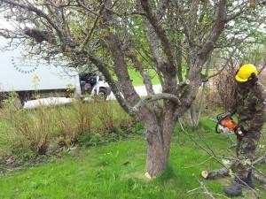 ta bort ett äppelträd Täby